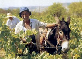 Collecting the grapes